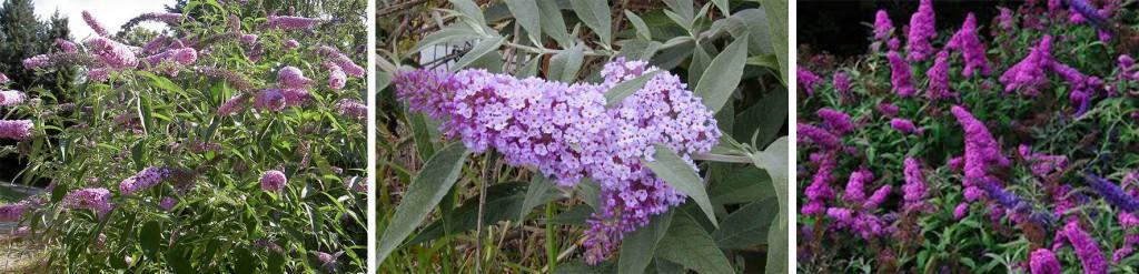 Buddleia - Liliacul de vară