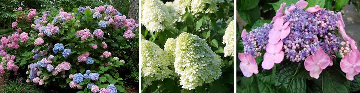 Hydrangea - Hortensia