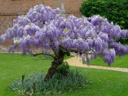 Glicina wisteria sinensis pe trunchi clt18 magazin for Glicina planta