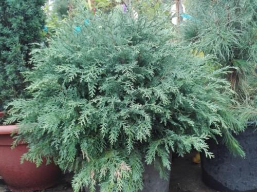 Chiparosul de California-Chamaecyparis lawsoniana 'Globus Silver'