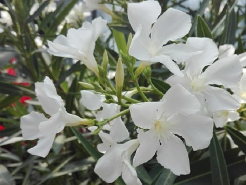 Nerium oleander-Alb