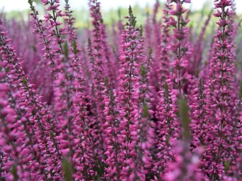 Calluna vulgaris – Rosie