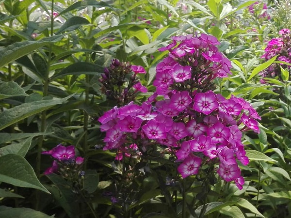 Phlox paniculata Sweet Summer Temptation