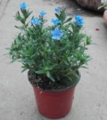 Margeluse-Lithodora diffusa Heavenly Blue