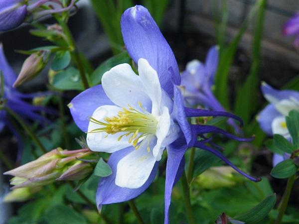 Aquilegia flabellata Cameo Blue & White