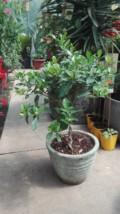 Gardenia grandiflora-pe trunchi