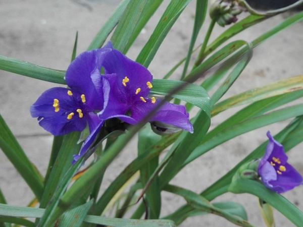 Tradescantia andersoniana Zwanenburg Blue