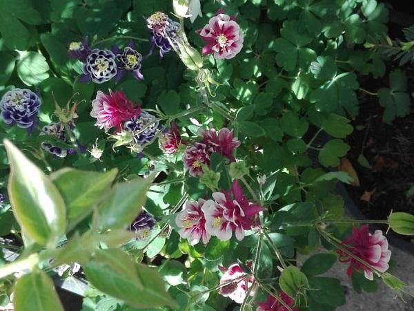 Caldaruse – Aquilegia vulgaris Nora Barlow