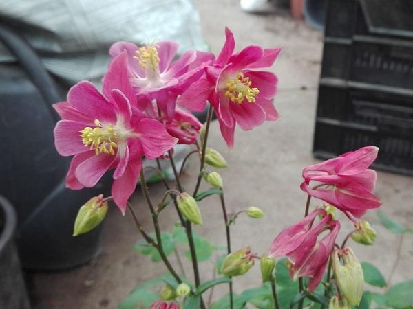 Caldaruse - Aquilegia vulgaris Winky Rose & Rose
