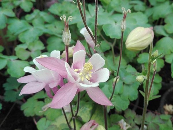 Caldaruse - Aquilegia Spring Magic Rose & Ivory