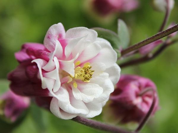 Aquilegia vulgaris Winky Double Red & White