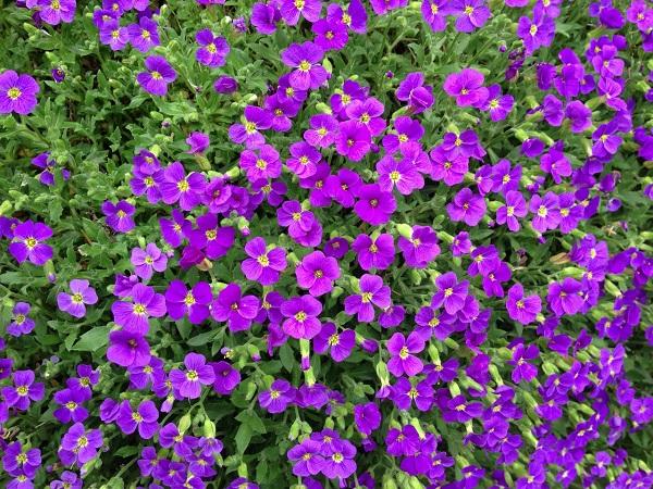 Aubrieta Axcent Lilac