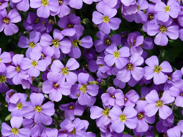 Aubrieta Axcent Light Blue