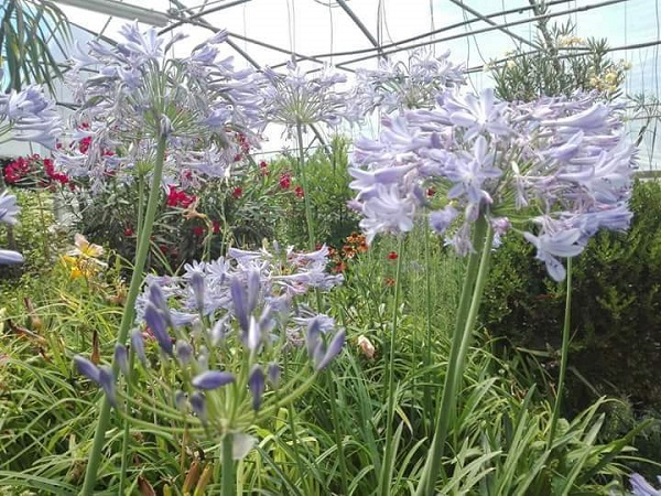 Agapanthus Dr. Brouwer-Crinul african