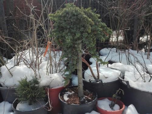 Juniperus conferta Blue Pacific-pe trunchi