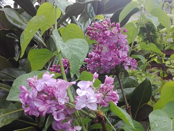 Syringa vulgaris-Liliac-pe trunchi