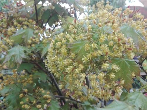 Artar, Paltin de camp-Acer platanoides Globosum