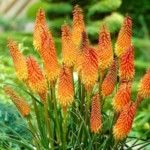 Kniphofia alcazar Red Hot Poker