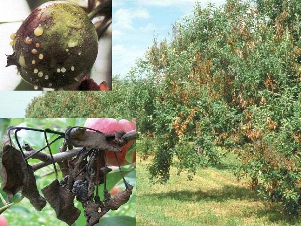 Focul bacterian la măr