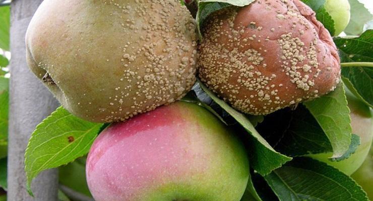 Putregaiul brun la măr