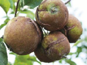 Făinarea fructelor de măr