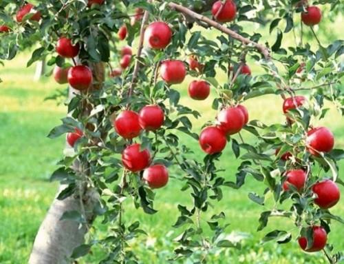 Mărul:Tratamente pentru boli și dăunători