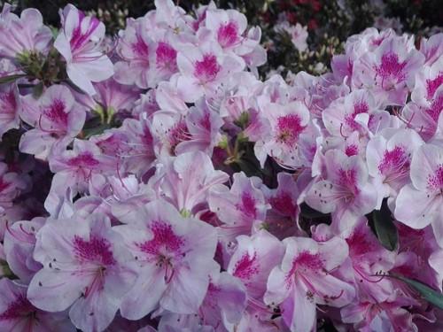 Azalee-Azalea japonica roz cu alb 90-100 cm