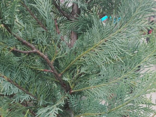 Chiparos - Cupressocyparis leylandii