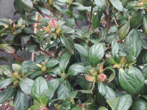 Azalee-Azalea japonica