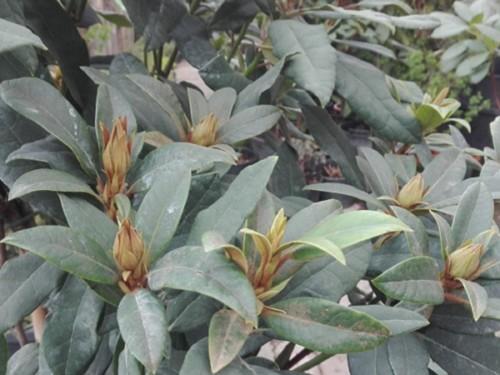 Azaleea de gradina-Rhododendron 60-90 cm