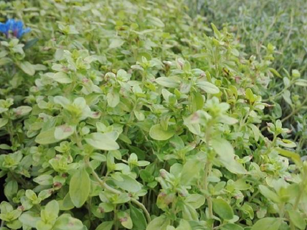 Cimbrisor - Thymus pulegioides Archer's Gold