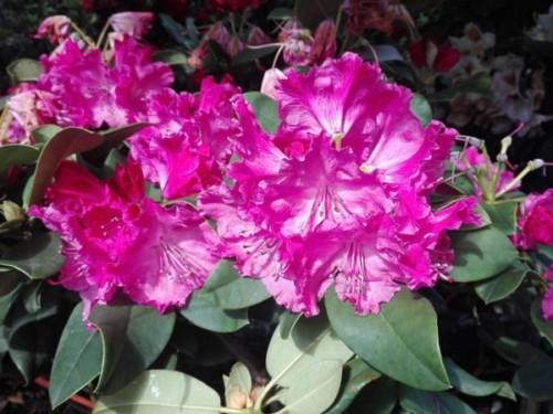Azaleea de gradina-Rhododendron roz