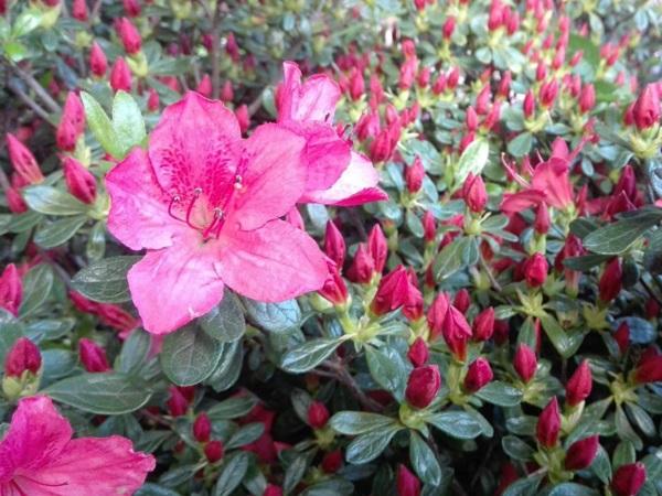 Azalee-Azalea japonica rosie 90-100 cm