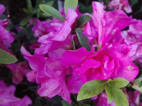 Azalee-Azalea japonica roz 90-100 cm