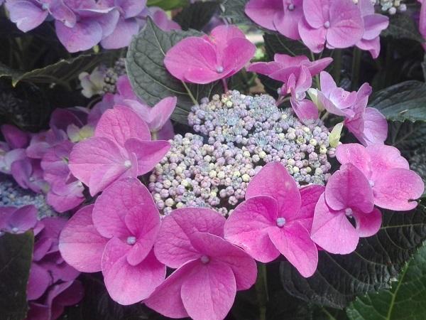 Hortensie roz - Hydrangea macrophylla