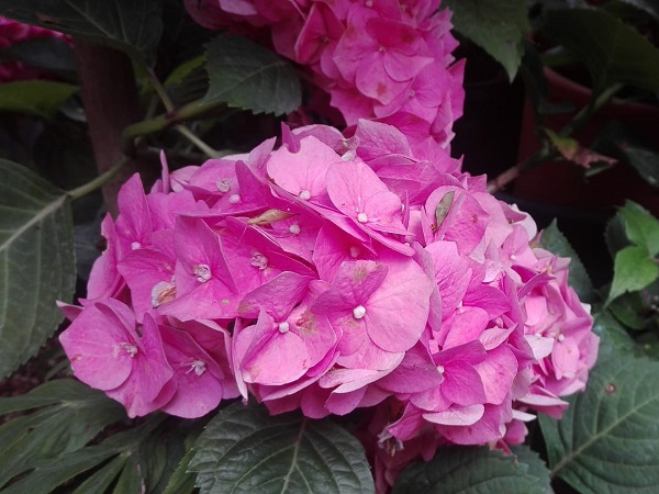 Hortensie rosie - Hydrangea macrophylla