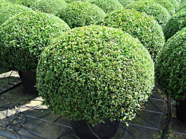 Buxus microphylla Faulkner-bila 100-120 cm